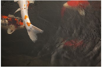 Picture-36X24 Coy Koi By Karyn Millet