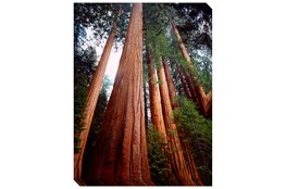 Picture-36X48 Redwoods