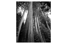 Picture-20X24 B&W Redwoods