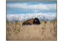 Picture-Bison The Beautiful 42X32